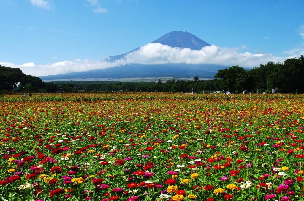 花の都公園 百日草